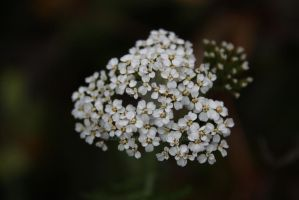 White flower by Armigerer