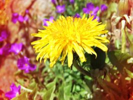Dandelion by lucyparryphotography