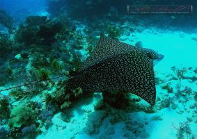 Eagle Ray VI by Adam-Schoenwald