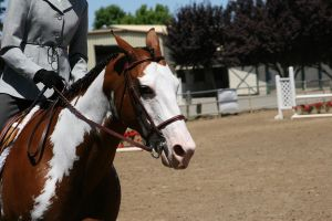 Bay Paint Hunter Under Saddle Headshot by HorseStockPhotos