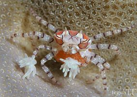boxer crabs with eggs by aquanauts74