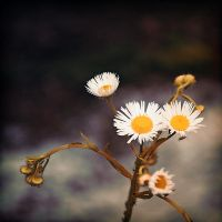 life is a flower_three by madazulu