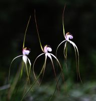 Orchid Ballet by SunOwl