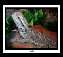 My Bearded Dragon, Spike by LuthienNightwolf