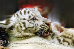 White Tiger Cub by brijome
