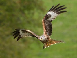 Focussed - Red Kite by Jamie-MacArthur