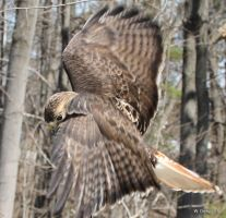 Red-Tailed Hawk by lenslady