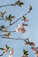 Cherry Blossoms II by GreenEyezz-stock