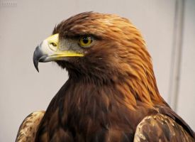 Golden Eagle by crystalfalls