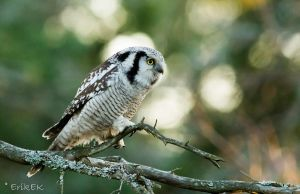 and more  Northern Hawk-Owl by ErikEK