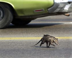 Jaywalking Opossum by Pepechulo