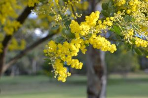 Wattle by MayEbony