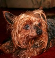Yorkshire terrier by nectar666