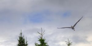 Great Blue Heron by Tigerzclaws