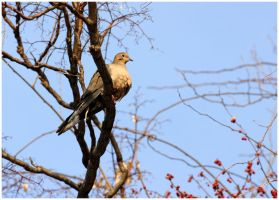 Mourning Dove 2 by Delacorr