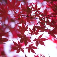 red leaves. by simoendli