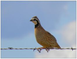 Bobwhite by SuicideBySafetyPin