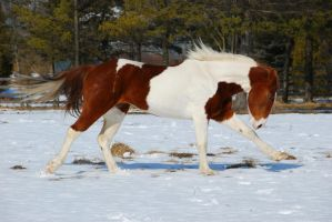 Pinto Horse 15 by ErikaChristine