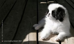 Japanese Chin puppy by Lena-Lou