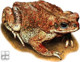 Red-Spotted Toad by rogerdhall