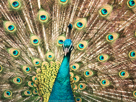Wallpaper ~ Peacock by cpg785