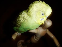Budgie by squirrelythis