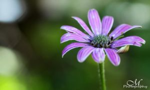 african daisy. by MartinaPhotography