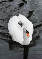 Swan on the move by NickField
