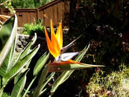 bird of paradise flower stock by hp-abrasion