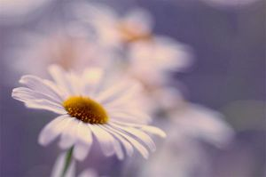 camomile by AlexEdg