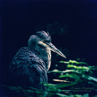 Heron by TammyPhotography