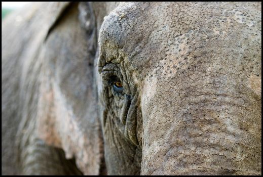 Circus Elephant by dmatsui
