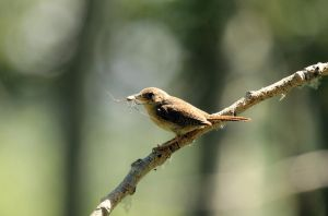 House Wren by sgt-slaughter