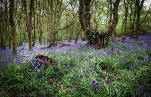 Bluebells by waggysue