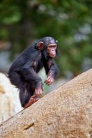 A small chimp climbing! by Seb-Photos