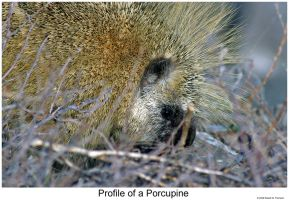 Profile of a Porcupine by hunter1828