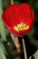 Small Red Tulip by panda69680102