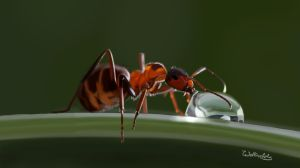 Ant and water drop by Wolkenfels