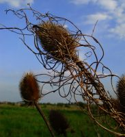Dipsacus silvester by Shady081988