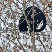 The climber! (black leopard) by Seb-Photos