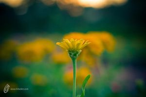 Yellow Dream by fahadee