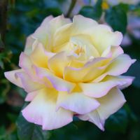Yellow-Pink Rose by FeralWhippet