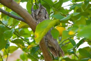Groggy Owl by chriswhiston