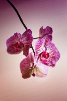 Orchid by Coigach