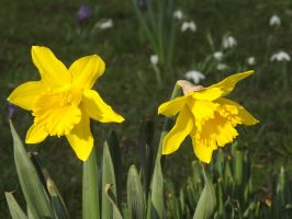 Daffodils by ShmibProductions