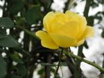 Delicate yellow rose for birthday by Momotte2