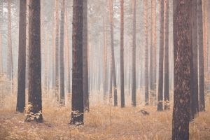 Misty pine grove by gmarv1n