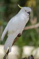 Sulphur-crested Cockatoo by JBlue2389