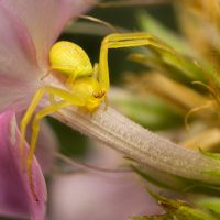 Crab Spider on Garden Phlox 02 by deanreevesii