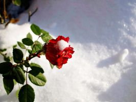 A rose in the snow by Zsurzsi